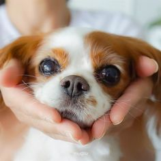 Cavalier King Charles Spaniel – Graceful and Affectionate King Charles Puppy, Cavalier King Charles Dog, Cavalier King Spaniel, Best Dog Toys, Cockerspaniel, Cute Dogs And Puppies, Doggies, Spaniel Puppies, Tier Fotos