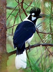 "Tufted Jay (Cyanocorax dickeyi) Perhaps none is more highly sought that the Tufted Jay with its outrageous frontal crest. It's endemic to cloud-forested barrancas in northwestern Mexico, moving in loose bands that are sometimes hard to find, but curious & approachable when located. It was only discovered in 1934; many longtime Mexican observers still use the old name ""Dickey Jay"" which has a certain panache."