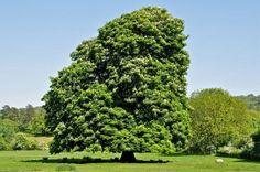 Árbol de Castaña de India