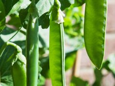 Homegrown  peas  serve delectable sweetness you won't find in the grocery store. Why? Peas start converting sugar to starch a few hours after they have been picked. Eating peas fresh from the garden gives you a taste treat that's tough to beat. Plant seeds well before last chance of spring frost. Choose edible pod peas, like snow peas or snap peas, or grow garden or English peas (nonedible shells).