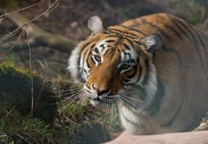 Tigerdame Bela strahlt förmlich in der Herbstsonne in TIERART Beautiful Pictures, Autumn, Gallery, Animals, Fall Weather, Beautiful Images, Animales, Fall Season, Roof Rack