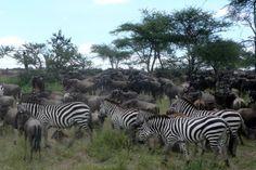 buffalo, animals, most popular, african safari, art, national parks, zebra, place, africa travel