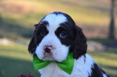 14 Things That Make Springer Spaniels Happy