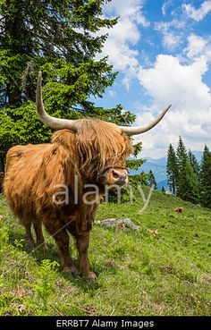 #Highland #Cattle In The #Nocky #Mountains Of #Carinthia @alamy #alamy #animals #nature #landscape #outdoor #season #summer #austria #vacation #holidays #travel #sightseeing #leisure #woods #hiking #alps #stock #photo #portfolio #download #hires #roaltyfree