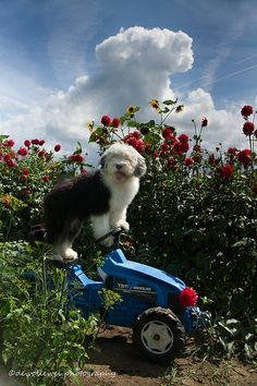 Lucy making a right turn, working in the flower garden....