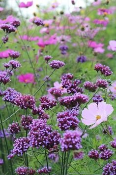 Verbena and cosmos