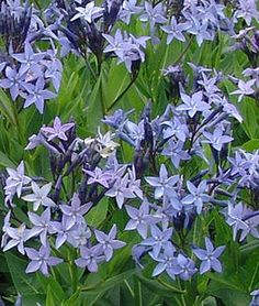 Amsonia, Blue Ice ,