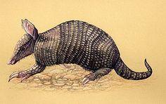 armadillo painting | Young armadillo - Painting - Nature Art by Pat Latas  Armadillo feet/claws