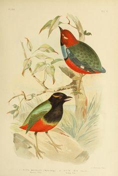 The birds of Australia,. Melbourne [etc.]C. Stuart & co.,1890-91.. biodiversitylibrary.org/page/43581081