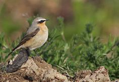 Wheatear  Non-Stop Birding: Beddington Farmlands Spring Bird and Wildlife Walk 29th April 2012