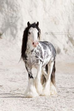 Gypsy horse stallion cob banner on the beach Most Beautiful Horses, All The Pretty Horses, Cute Horses, Horse Love, Cute Baby Animals, Animals And Pets, Wild Animals, Beautiful Creatures, Animals Beautiful