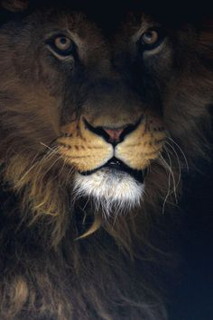 Lion in the Shadow