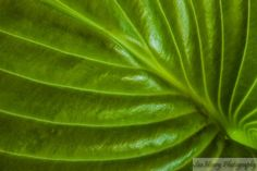 Sue Henry Photography - Blog - Dreaming ofHostas