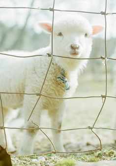 A little Spring lamb. He's so cute! Beautiful Creatures, Animals Beautiful, Hello Beautiful, Farm Animals, Cute Animals, Baa Baa Black Sheep, Sheep And Lamb, Baby Sheep, Sheep Farm