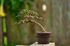 Portulacaria afra (dwarf Jade) bonsai tree by www.LittleJadeBonsai.com