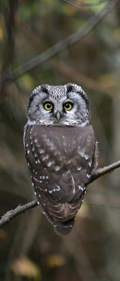 Boreal Owl - With head turned all the way around.