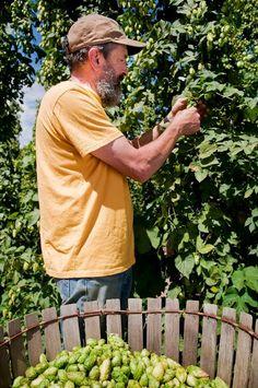 bine to brew rogue ales spirits harvesting six varieties of hops at rogue farms