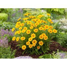 Krásnoočko velkokvěté žluté průměr květináče cca 13 cm nakoupit u OBI Colorful Garden, Plants, Plant, Planets