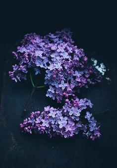 Lilacs on black