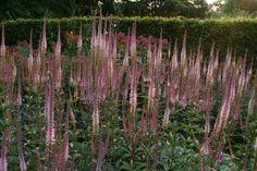 Veronicastrum virg. `Erika` volgens tuinplantenstek combineert dit mooi met Dahlia Wizard of Oz