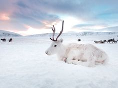 A rare white reindeer was spotted in Norway and its the cutest thing ever Animals Of The World, Animals And Pets, Cute Animals, All Animals Pictures, White Reindeer, Nordic Christmas, Modern Christmas, Christmas Christmas, Xmas