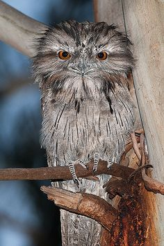 Tawny Frogmouth by Jon Thornton, via Flickr