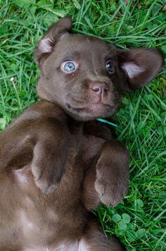 Labrador brun chocolat