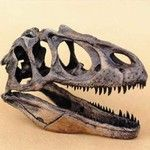 Allosaurus fragilis Dinosaur Skull Replicais of museum quality and cast in durable polyurethane resins.$229.00 in stock and ready to ship! Shop www.DinosaurToysSuperstore.com