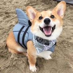 Over 600 Corgis Came Together for an Impossibly Cute Beach Day