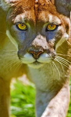 ~~Stalker | American Mountain Lion (puma concolor) by Mundy Hackett~~