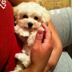 My baby Maltipoo