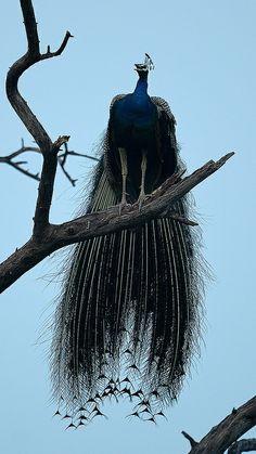 'Peacock 1' (2012) photographed by prerna jain. Bharatpur, Indian state of Rajasthan. via Prerna02 on flickr