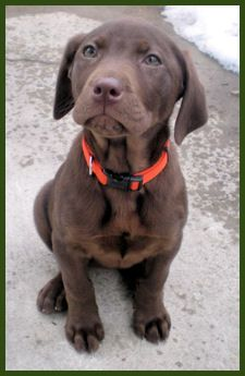 Chocolate Labrador Puppies - 3 months Vicary Labradors Liberty Grace