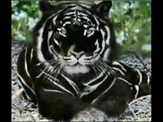 Black Tiger is the most Majestic cat in the worldYou can find Wild cats and more on our website.Black Tiger is the most Majestic cat in the world Unusual Animals, Majestic Animals, Rare Animals, Cute Baby Animals, Cute Funny Animals, Animals And Pets, Cute Cats, Black Animals, Animals In The Wild