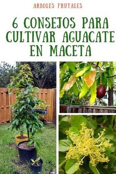 9 Mejores Imágenes De Aguacate árbol De Aguacate Aguacate Jardinería