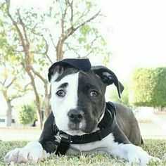 Cute Black And White Pitbull Puppies cutest black and white staffy pup. Amstaff Terrier, Pitbull Terrier, Terrier Mix, Cute Puppies, Cute Dogs, Dogs And Puppies, Doggies, Pit Bull Puppies, Beautiful Dogs
