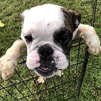 Naperville Il English Bulldog Meet Sarge A Pet For Adoption