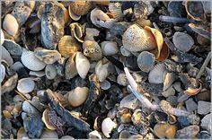 The morning sun lights seashells on the beach of Pawleys Island, SC.