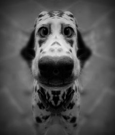 Dalmatian nose