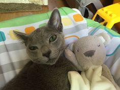 Russian Blue Kitten, Dinosaur Stuffed Animal, Blues, Toys, Animals, Friends, Activity Toys, Amigos, Animales
