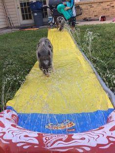 Pet Pig... Mini Pig Enrichment Fun