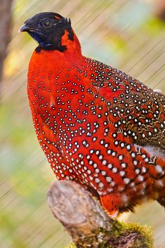 This is a Satyr Tragopan, a small bird living in the Himalaya, taken at the zoo of Zürich.