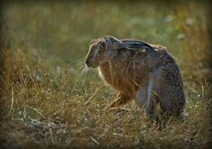 Had a lovely morning at Havergate Island yesterday with the Hares - they were not that easy to photograph but some were very used to humans and let us get quite close to them - stunning creatures. Hare & Tortoise, Texas Animals, March Hare, Nature Reserve, Facebook Marketing, Photos Du, Beast, Wildlife, Bunny