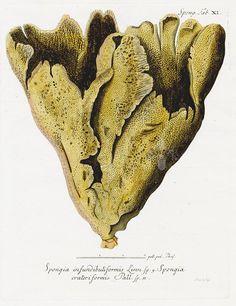 Johann Esper, Spongia infundibuliformis & crateriformis Coral, 1791