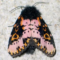 Spanish Moth. Habitat: Throughout the lowland areas of Central America and in the Caribbean. In South America it ranges to northern Argentina