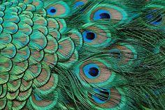 peacock - Google 搜尋