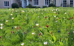 How to grow the best bulbs for spring.  Jewelled lawn, Tulipa saxatilis (Bakeri Group) 'Lilac Wonder', Tulipa humilis 'Persian Pearl', Tulipa praestans and Muscari armeniacum 'Cupido' naturalised in lawn
