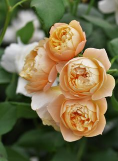 New from David Austin roses, Roald Dahl, pictured here at RHS Chelsea Flower Show – an English Musk Hybrid with the trade name of Ausowlish. A touch of Comte de Champagne, The Lark Ascending…