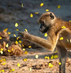 A baboon investigates a kaleidoscope of yellow butterflies.  Click on pic to see more of Chobe National Park.  📸 @corlette_wessels_photography Post via @ africageo Tsitsikamma National Park, Chobe National Park, Kruger National Park, National Parks, Madagascar, Black Backed Jackal, Sand Game, The Great Migration, Wild Eyes