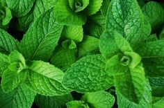 Mint is an herb that has been used for hundreds of years for its remarkable medicinal properties. There are many varieties of mint including the most popular ones.peppermint and spearmint. Mint is fragrant and.